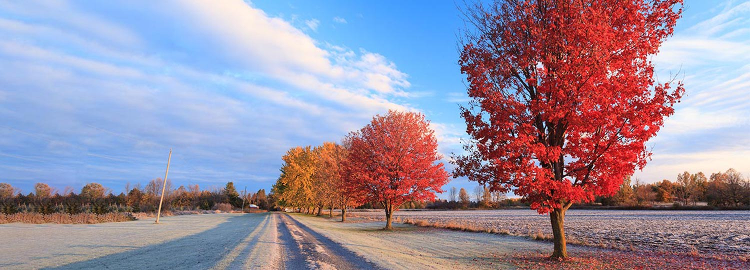 Red maple trees in a frosty sunny fall morning in rural Ottawa.